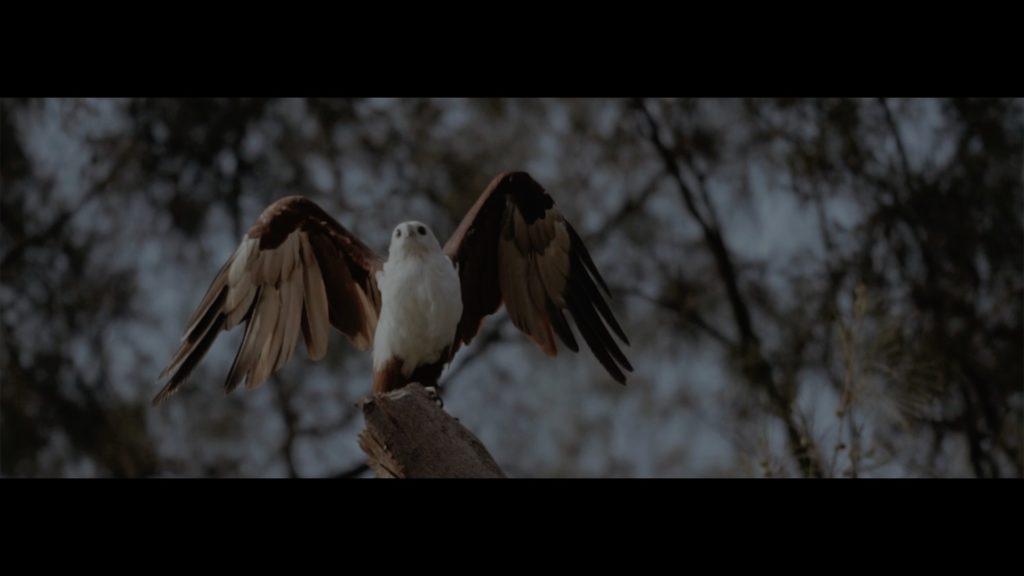 dokumenter, dokumenter burung elang, burung elang, elang bondol, burung elang bondol